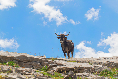 Cow with a hand bell on a neck on a pasture in mountains. A bright green grass on stones, a cow silhouette against the background of the blue sky. The cow looks from above at the viewer in sunny summer day