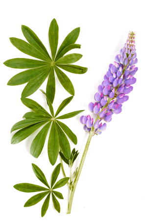 Violet flowers and leaves on a white background. Flat composition from a violet lupine and green leaves. Reklamní fotografie