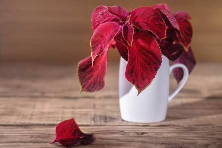ollas de barro: Red coleus in a white mug. Red leaves in a white ceramic vase on an old wooden table. Rural style, free space left, selective focus Foto de archivo