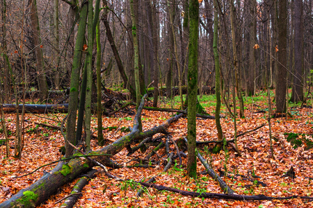 The autumn wood with the tumbled-down rotten trees. Cloudy day of November, wet fallen leaves and a green moss on trees