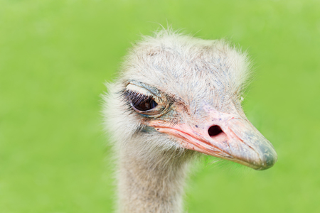 The heads of an ostrich on a green background. A funny ostrich, a bird with big eyes, a close up, selective focus