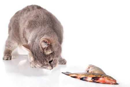Cat and fish on a white background. The gray domestic cat creeps to fish. Fish lies near a cat. Close up, selective focus