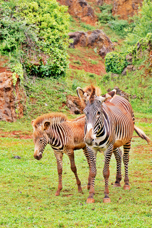 Zebras on a green grass. On a background the rock which has grown with plants, sides of zebras are soiled in red clay Stock Photo