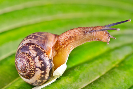 Snail on a green leaf. Close up, selective focus
