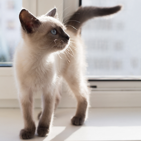The kitten of a color of color-point costs on a window sill. The kitten is lit with the sun at a window, on a background a protective grid 免版税图像