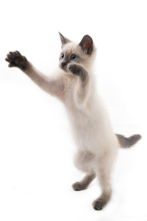 Kitten of a color of color-point on hinder legs. A light kitten on a white background, the game moment, attempt to catch a toy