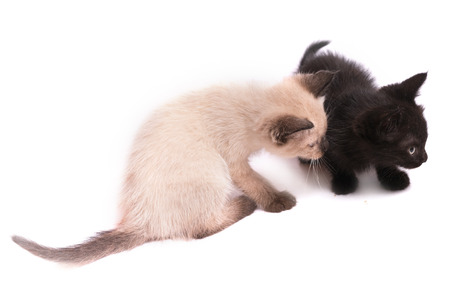 Two kittens on a white background. The black kitten and a kitten of a color of color-point sit next. Selective focus