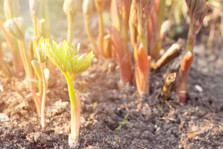 Young peony shoots in early spring. Red stems with leaf buds illuminated by the sun. Soft selective focus Фото со стока