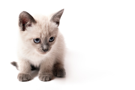 The kitten of color point sits on a white background. A little sad cat with blue eyesЮ I have widely placed forepaws and looks up Stock fotó
