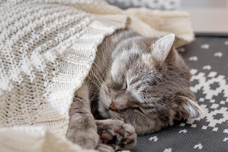 Gray cat sleeping under a white knitted blanket. Close-up, selective focus 免版税图像
