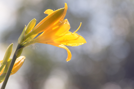 Flowers of the yellow daylily on a blurred background Stock Photo