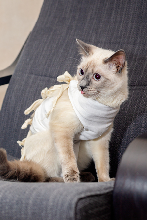 The cat in the postoperative blanket sits in the chair