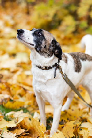 A dog on a leash in the autumn forest with yellow fallen leaves.