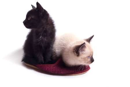 Two kittens, black and light Thai, sit in a slipper. 写真素材