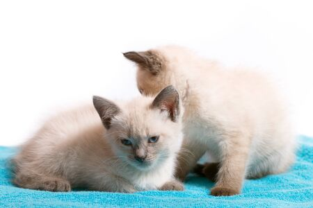 Two little identical Thai kittens on a blue rug.