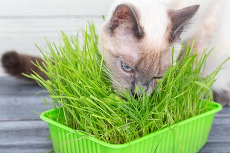 Cat eat germinated green sprouts of oats.
