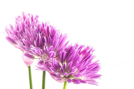 Purple shallot flowers isolated on white background. Close-up, selective focus, copypace on the right