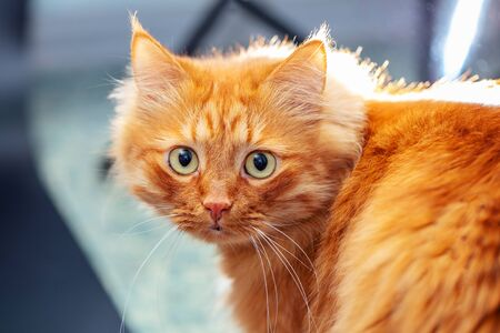Portrait of a fluffy red cat on a blurred background. Stock Photo