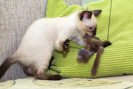 The kitten plays with a fur toy on the pillow. Open mouth and spread paw with claws in the excitement of the game