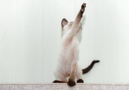 A small kitten sits on the back of the couch and pulls its front paw up. Funny cat on a light background