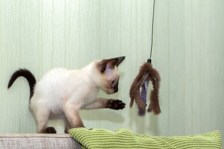 small Thai kitten looks at a fur toy on a rope and holds out a foot to it.