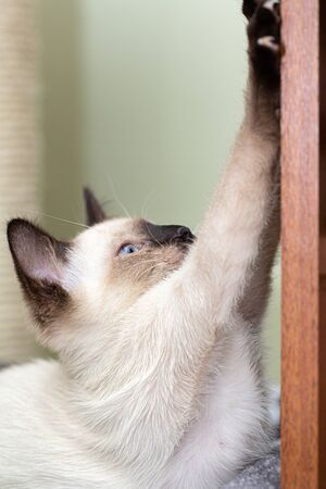 Siamese cat sharpens its claws on the door. Stockfoto