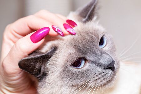 A female hand with bright nail polish strokes a Thai cat on the head.