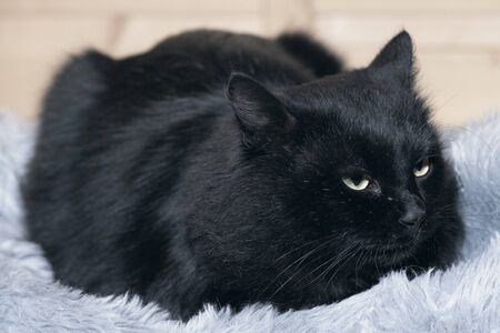 Black fluffy cat with yellow eyes lies on a fur rug. Banque d'images