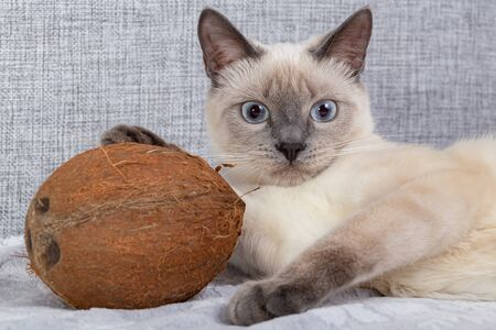 Thai kitten is playing with coconut on the sofa. Close-up, selective focus.