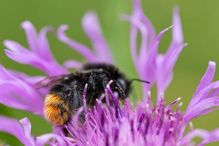 Meadow cornflower, Bombus lapidarius, with a red-tailed bumblebee sitting on a flower.