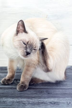 The Thai cat scratches the ear with its back paw on a wooden table. Bright background, close-up