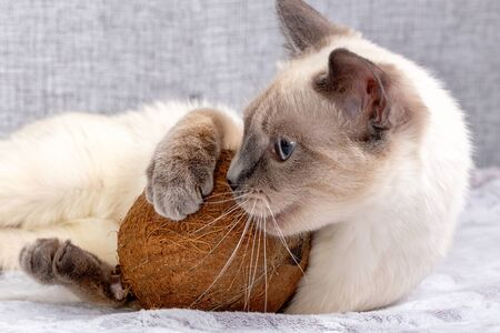 Thai kitten is playing with coconut on the sofa.
