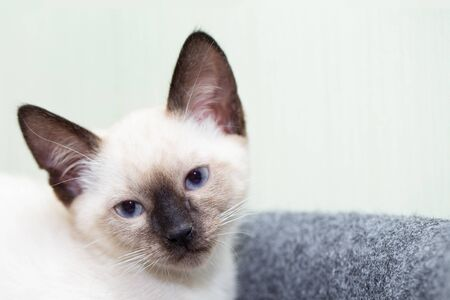 Portrait of a Thai kitten with blue eyes