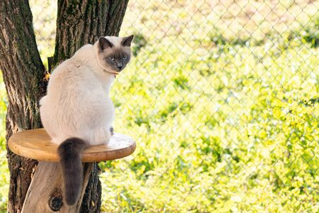A Thai cat in a collar sits in the garden in the summer at the trunk of a tree on a garden table.