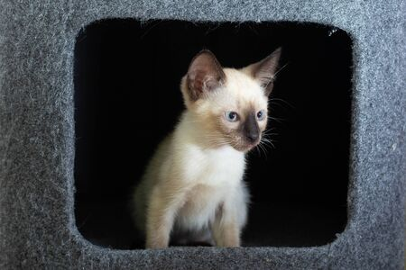 Curious Thai kitten peeks out of a house on a cats play complex.