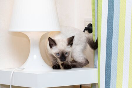 Naughty Thai kitten climbed under a desk lamp.