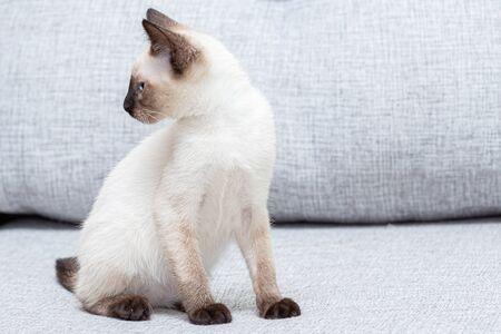 Thai kitten sits on a light gray sofa.