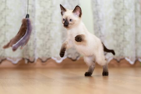 A Thai kitten plays with a fur toy on a rope 写真素材