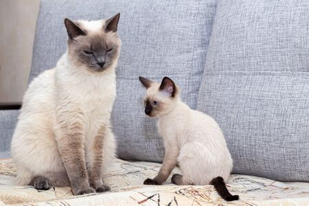 Two Thai cats - an adult and a kitten - sit on the couch.