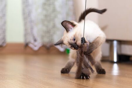 A Thai kitten plays with a fur toy on a rope