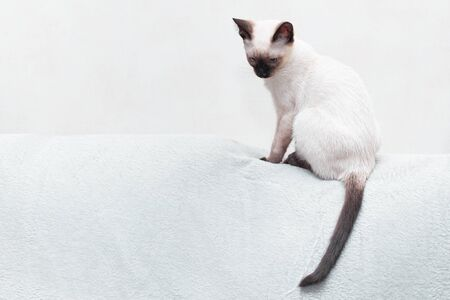 A young white Thai cat sits on the back of the sofa and hangs its tail. Toned in sepia, free seat on the left