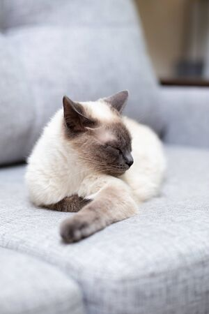 The white cat lies on the couch and pulls out the front paw. Thoughtful cat, light gray sofa Banque d'images