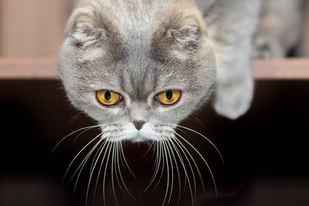 The grey Scottish Fold cat hung his head and looked down.