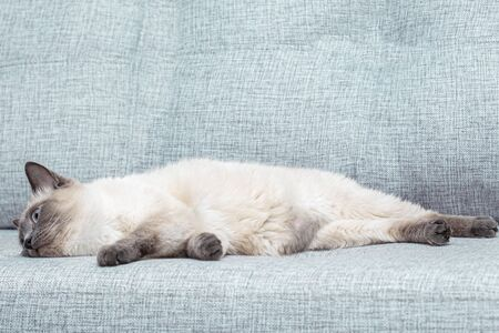 A Thai kitten slumbers on the sofa at home.