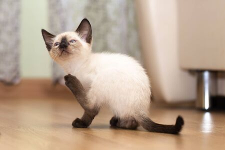 Thai funny kitten lifted the back paw to scratch the ear. Stock fotó