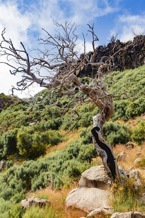 View from the tourist trail to the peak of Ruivo in Madeira on vegetation and dry tree skeletons in fog clouds. Banco de Imagens