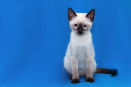 Thai kitten sits on a blue background