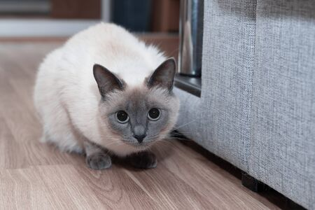Beautiful Thai cat in the interior of the apartment on the floor