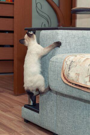 Thai white kitten climbs on chisten on the sofa.