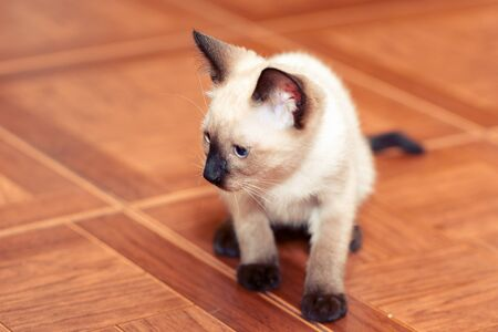 A small white Thai kitten sits on a brown floor